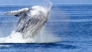 なぜクジラは哺乳類なのに、水中で生活するのか?